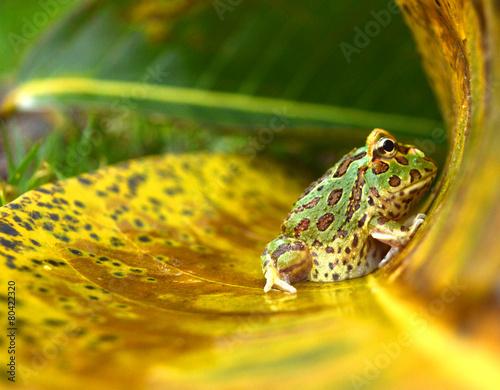 Fotografie, Obraz  žába pacman (Ceratophrys ornata)