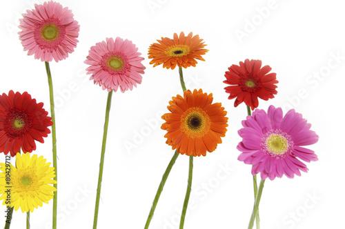 Ingelijste posters Gerbera Set of colorful gerber flowers