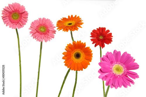 Ingelijste posters Gerbera Set of colorful gerbera flowers