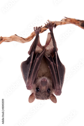 Fotografering Egyptian fruit bat isolated on white