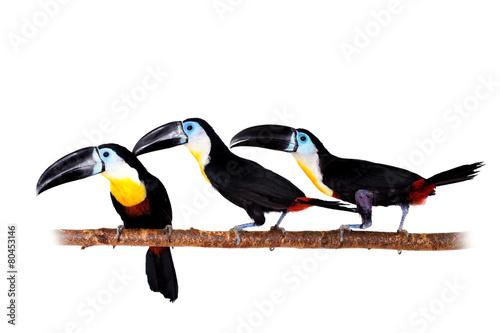 In de dag Toekan Channel-billed toucan isolated on white