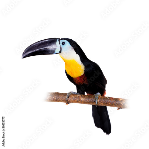 Toucan Channel-billed toucan isolated on white