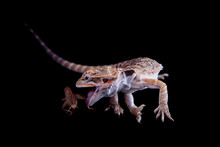Small Bearded Dragon Catching ...