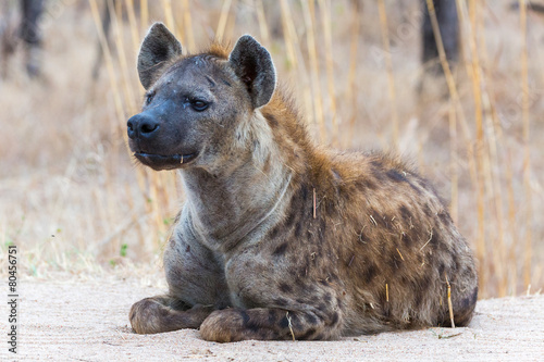 Papiers peints Hyène Spotted Hyena on the lookout