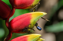 Heliconia Bihai Flower With Bl...
