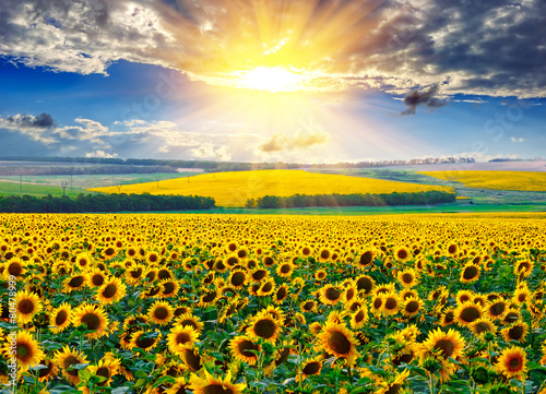 Fototapety, obrazy: Sunflower field at the morning