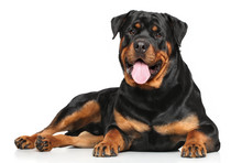 Rottweiler Lying On White Background