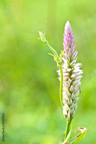 Fotografie, Obraz  Cockscomb flower
