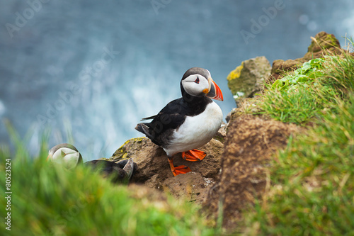 Fotomural  Beautiful Summer Picture of Icelandic Horned Puffin In Iceland