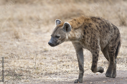 Foto op Canvas Hyena female hyena walking along farm road