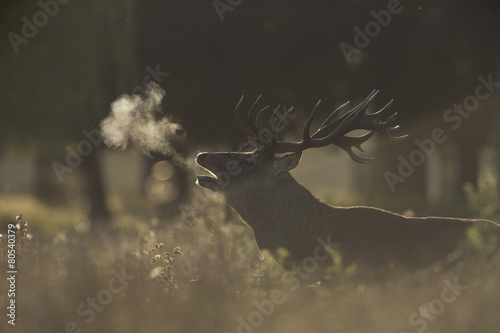 Photo  Red deer - Cervus elaphus