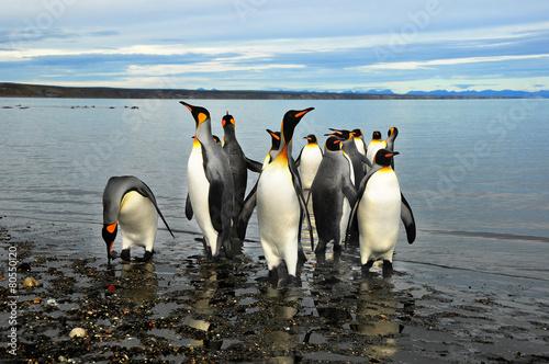 pingwiny-magellana-w-ziemi-ognistej