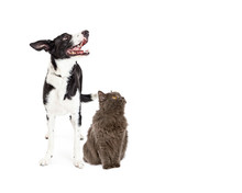 Cat And Dog Looking Up Into Blank Copy Space