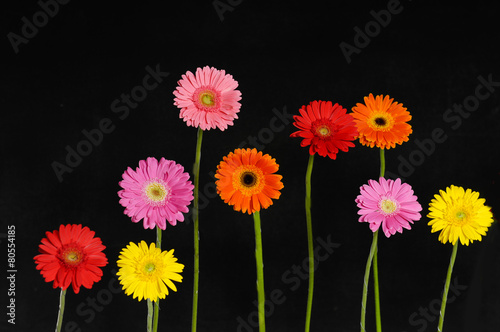 Poster Gerbera colorful Gerbera flower with stem isolated on black