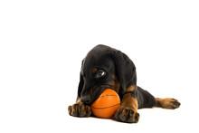 Puppy Of Doberman Pincher Play...