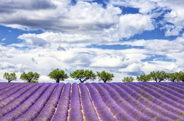 Fototapeta Lawenda View of lavender field