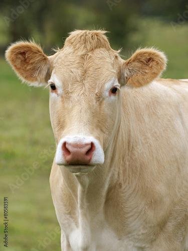 Papiers peints Vache vache blonde d'Aquitaine dans le pré en gros plan