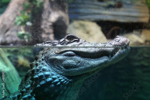 Papiers peints Crocodile The head of a crocodile over water