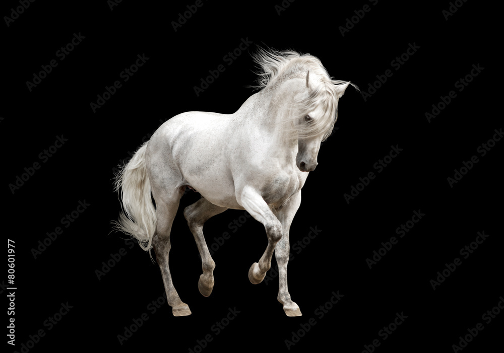 Fototapeta white andalusian horse stallion isolated on black background