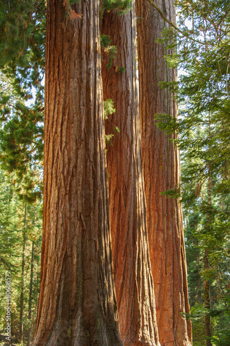 Poster de jardin Parc Naturel Three Giant Sequoia Sisters