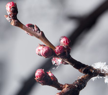 The Buds Of The Tree Close-up ...