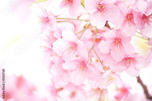Foto op Canvas Kersen 桜