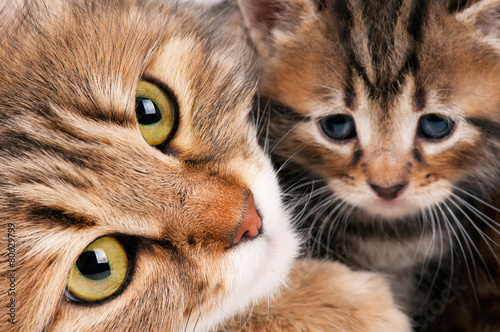 Valokuva  Siberian cat