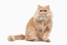 Cat. Red Persian Cat On White Background