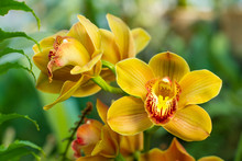 Bouquet Of Yellow Cymbidium.