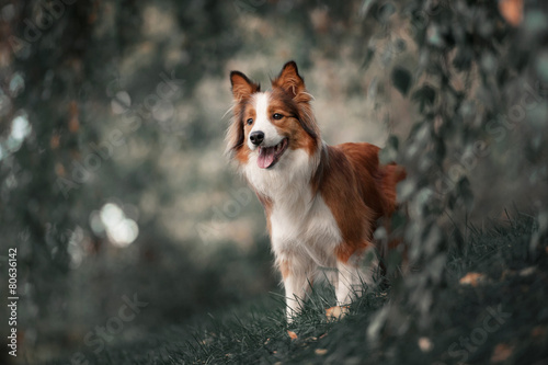 Photo  Proud border collie dog
