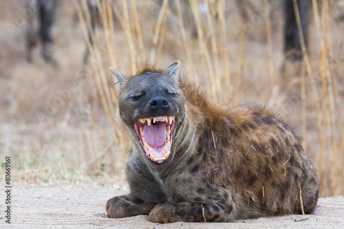 Door stickers Hyena Smiling Hyena