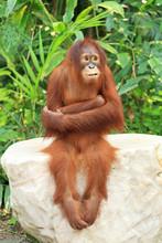Orangutan Sitting On The Rock ...