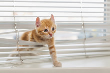 Ginger Kitten Tangled In Window Blinds