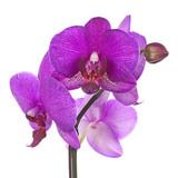Kwiaty purpurowej orchidei na białym tle