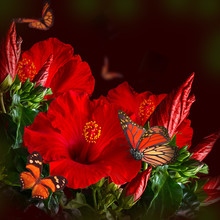 Bunch Of Red Hibiscus And  Butterfly .
