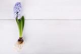 Blooming purple hyacinth