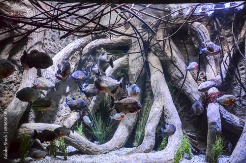 Valokuvatapetti Some Orange Piranhas