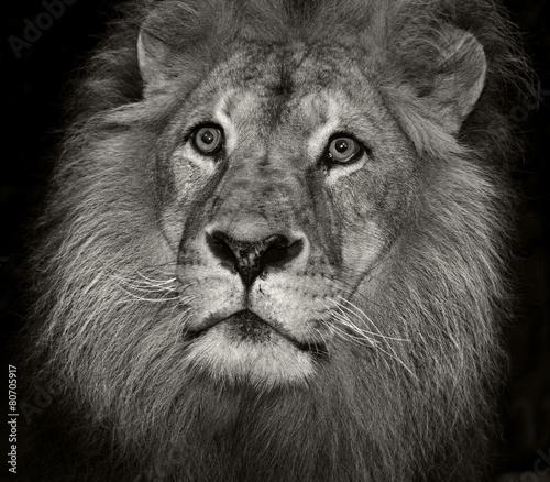Foto op Plexiglas Leeuw arrogant lion