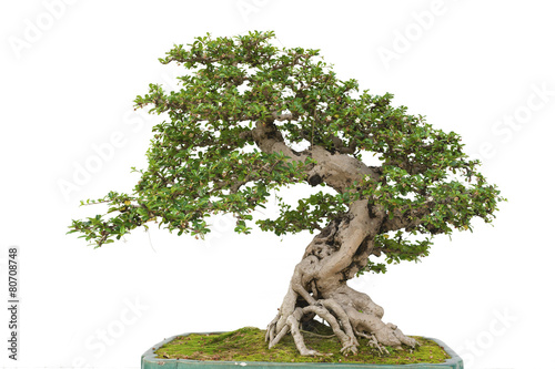 Spoed Fotobehang Bonsai Bonsai pine tree against a white wall