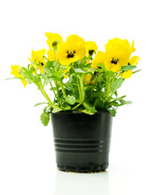 Yellow Pansies In A Pot