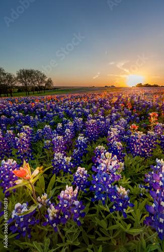 Foto op Aluminium Texas Texas wildflower - bluebonnet and indian paintbrush in sunset