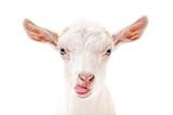 Fototapeta Zwierzęta - Portrait of a goat showing tongue