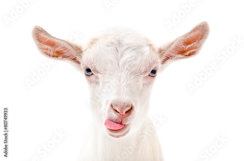 Portrait of a goat showing tongue Canvas Print
