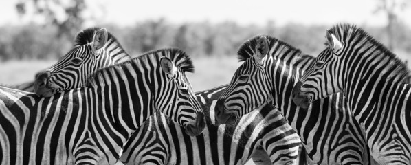 FototapetaZebra herd in black and white photo with heads together
