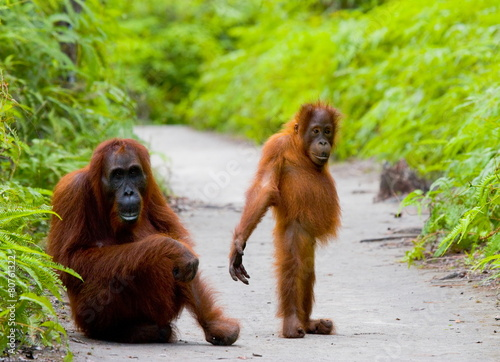 Mom with baby orangutan. Borneo. Indonesia.