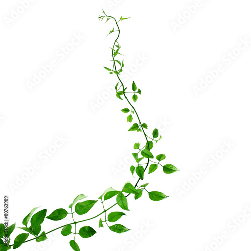 Green creeper on a white background Wallpaper Mural