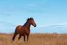 Wild Horse In The Field On Ocean Shore