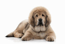 Dog. Tibetan Mastiff Puppy On ...