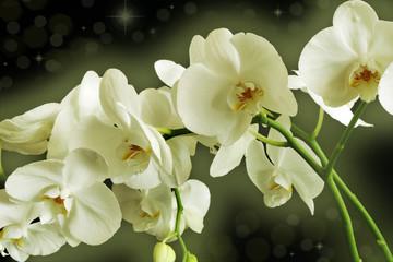 Fototapetaorchid flower