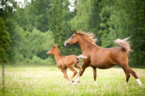 Fotografie, Obraz  arabian foal with mare